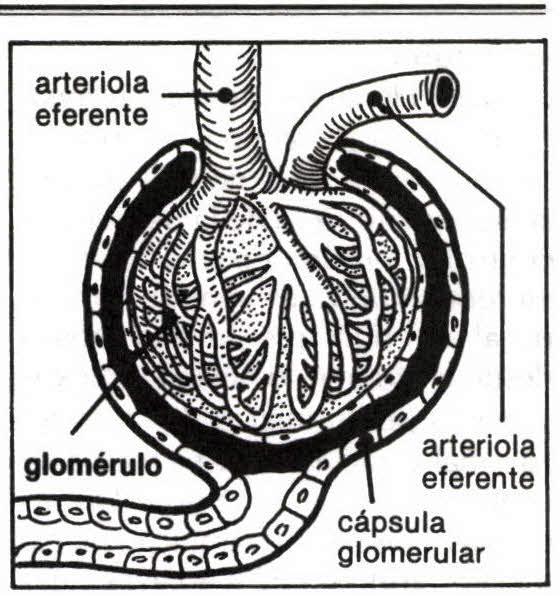 GLOMÉRULO - Diccionario Abierto de Medicina